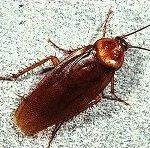 American cockroach control miami