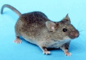 house mouse control miami
