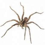 wolf spider control miami