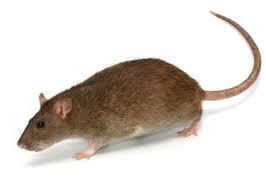 norway rat control miami