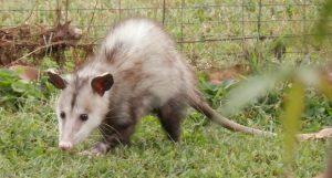 opossum control miami