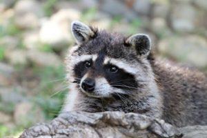 raccoon control miami